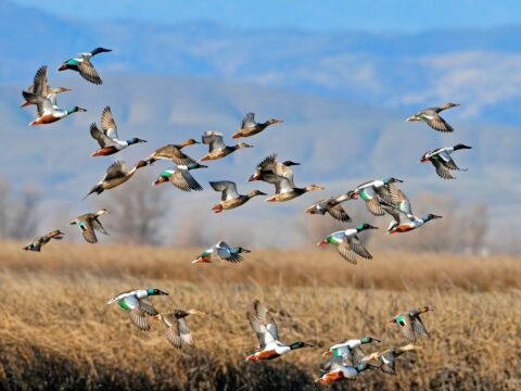 Snow Goose Festival of the Pacific Flyway