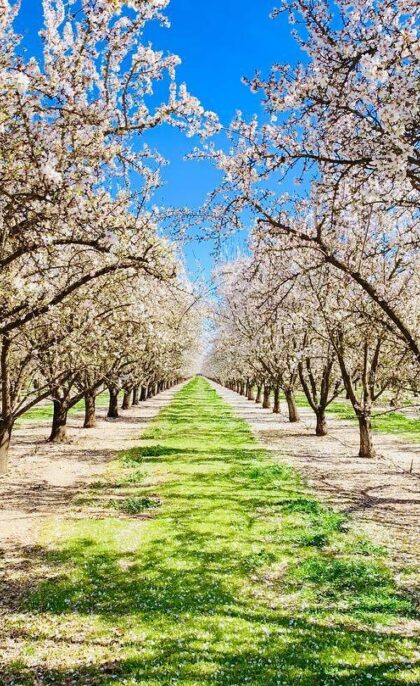 Live Like a Local: Best Spots to See Almond Blossoms in Butte County